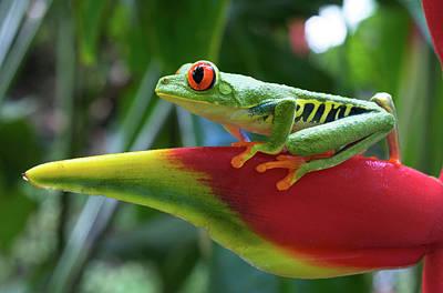 Red-eyed Treefrog Print by Andres Morya Hinojosa
