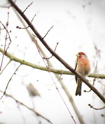 Red Finch In Snow Print by Rebecca Cozart