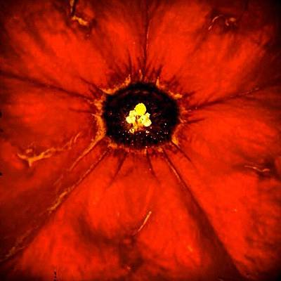 Flower Photograph - Red Flower - Begonia- Close Up by Cristina Stefan