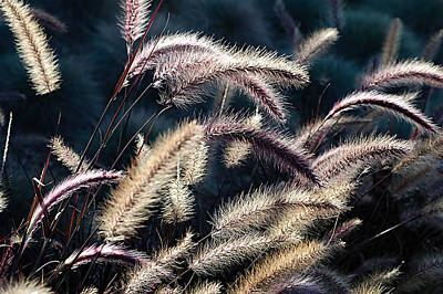 Blue Begonia Photograph - Red Fountain Grass by See My  Photos
