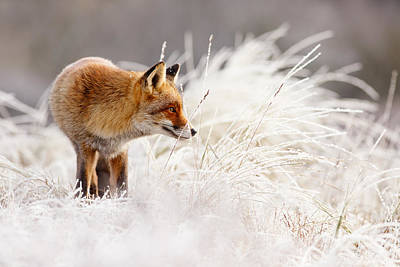 Red Fox And Hoar Frost _ The Catcher In The Rime Print by Roeselien Raimond
