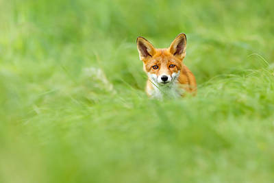 Red Fox In A Sea Of Green Print by Roeselien Raimond