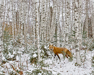 Red Fox In Birches Print by Jack Zievis