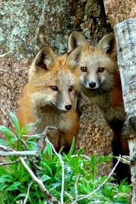 Red Fox Photograph - Red Fox Kits - Portrait by Marilyn Burton
