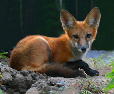 Red Fox Print by Kristin Elmquist