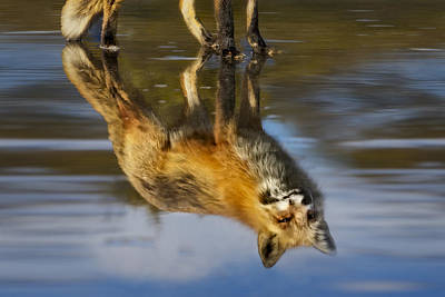 Red Fox Reflection Print by Susan Candelario