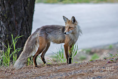 Red Fox Print by Robert Bales