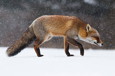 Red Fox Trotting Through A Snowshower Print by Roeselien Raimond