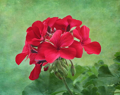 Red Geranium Flowers Print by Kim Hojnacki