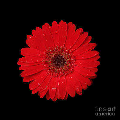 Red Gerber Daisy Print by Judy Whitton