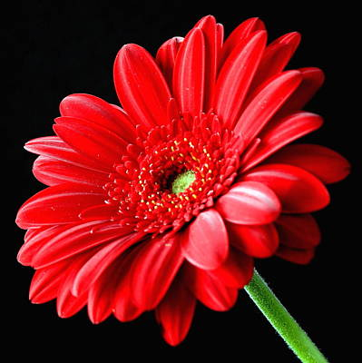 Red Gerbera Daisy Flower On Black Print by Lynne Dymond