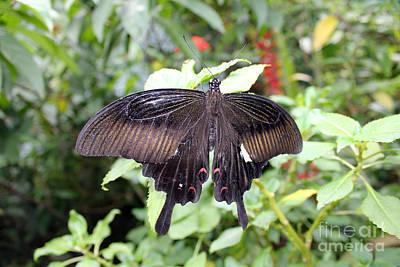 Red Helen Butterfly Original by Sergey Lukashin