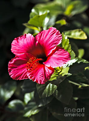 Red Hibiscus Print by Robert Bales