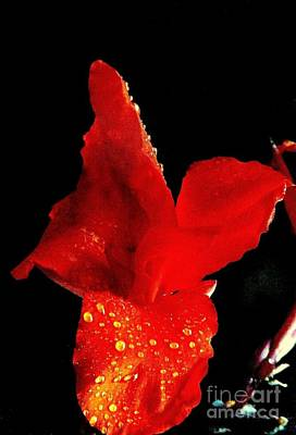 Red Hot Canna Lilly Print by Michael Hoard