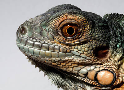 Dragon Photograph - Red Iguana by Nigel Downer