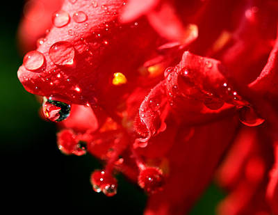 Flower Express Photograph - Red Is Sweet by Janet Pancho Gupta