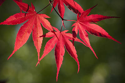 Red Japanese Maple Leafs Original by Chad Davis