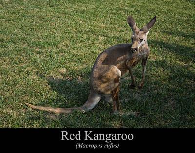 Kangaroo Digital Art - Red Kangaroo by Chris Flees