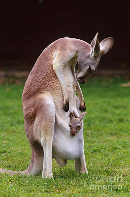 Kangaroo Photograph - Red Kangaroo Mother And Young, Australia by Art Wolfe