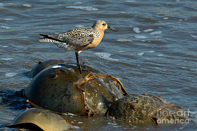 Limulus Polyphemus Photograph - Red Knot On Horseshoe Crab by Mark Newman