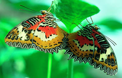 Lacewing Photograph - Red Lacewing Butterflies Mating by Nigel Downer