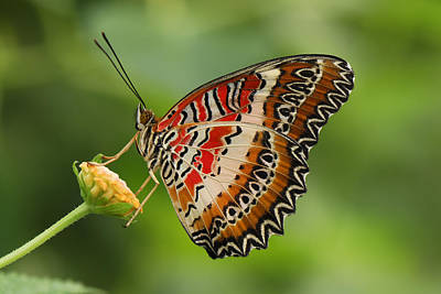 Batik Photograph - Red Lacewing Butterfly Malaysia by Thomas Marent