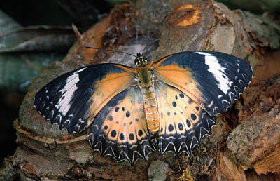 Lacewing Photograph - Red Lacewing Butterfly by Nigel Downer