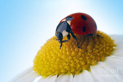 Red Ladybug And Camomile Flower Print by Boon Mee