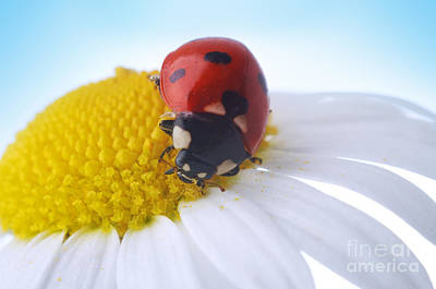 Red Ladybug Print by Boon Mee