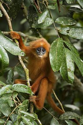 Danum Valley Conservation Area Photograph - Red Leaf Monkey Juvenile Sabah Borneo by Sebastian Kennerknecht