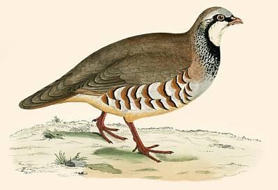 Red Legged Partridge Print by Beverley R Morris
