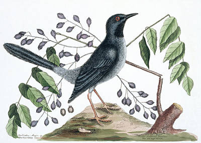 Red-legged Thrush Print by Natural History Museum, London