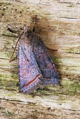 Red Line Quaker Moth Print by David Aubrey