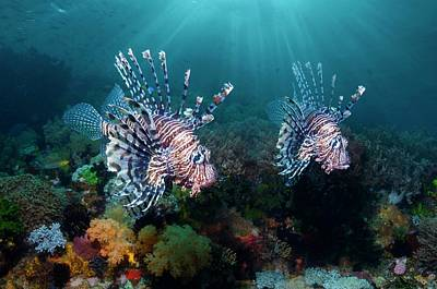 Anthozoa Photograph - Red Lionfish Over A Reef by Georgette Douwma