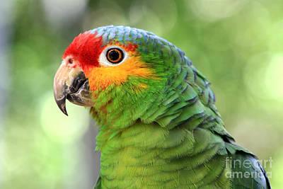 Red-lored Amazon Parrot Print by Teresa Zieba