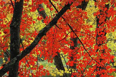 Maple Season Photograph - Red Maple Close-up, Sebago Lake State by Michel Hersen