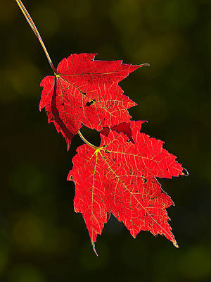 Manipulation Photograph - Red Maple In Fall by Bill Caldwell -        ABeautifulSky Photography