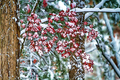 Snowstorm Mixed Media - Red Maple With Snow by John Haldane