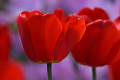 Tulpe Photograph - Red On Pink by Juergen Roth