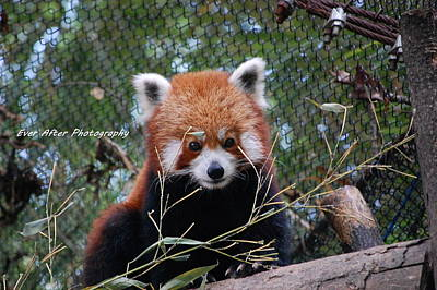 Red Panda Print by Jade Thomas