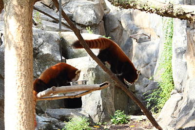 Red Photograph - Red Panda - National Zoo - 011312 by DC Photographer