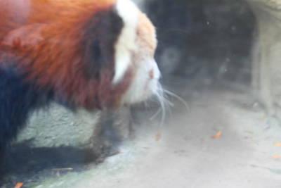 Panda Photograph - Red Panda - National Zoo - 01136 by DC Photographer