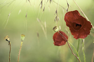 Flower Memorial Photograph - Red Poppies Background by Dirk Ercken