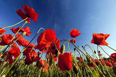 Red Poppies Germany Print by Duncan Usher