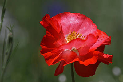 Floral Photograph - Red Poppy by Juergen Roth