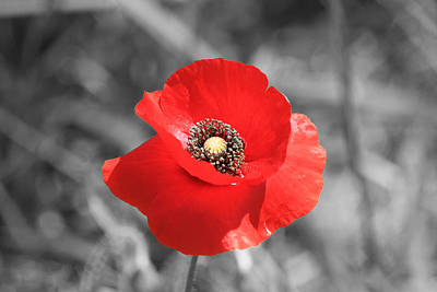 Flowers Photograph - Red Poppy by Shane Bechler