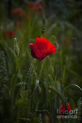 Red Poppy Print by Svetlana Sewell