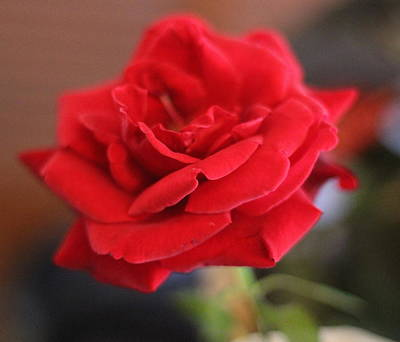 Rose Photograph - Red Rose 2 by Cathy Lindsey
