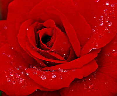 Detail Photograph - Red Rose And Drops by Gina Dsgn