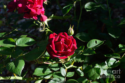 Indiana Photograph - Red Rose At Dawn by Alys Caviness-Gober